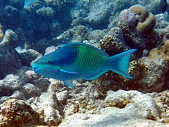 Five-saddle parrotfish or dusky-capped parrotfish (Scarus scaber) (male)