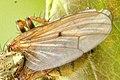 Scathophaga.furcata.wing.detail.jpg