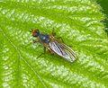 Scathophaga stercoraria - Flickr - gailhampshire.jpg