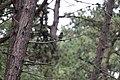 Schiermonnikoog - Merel (Turdus merula) v2.jpg