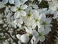 Schlehenblüte im April.JPG