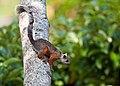 Sciurus variegatoides -Santa Domingo, Costa Rica-8.jpg