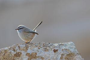 Streaked scrub warbler - Image: Scotocerca inquieta, Israel