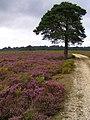 Scots pine on Sandy Ridge, New Forest - geograph.org.uk - 230857.jpg