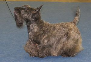 Scottish Terrier - A brindle Scottish Terrier