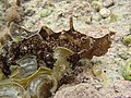 Sea slug Aplysia sp. (Israel).jpg