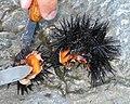 Sea urchin eggs.jpg