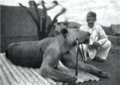 Second Tsavo lion.png