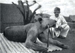 Tsavo Man-Eaters - The second lion, FMNH 23969