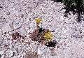 Sedum lanceolatum (NPS Yellowstone slide file 09998).jpg