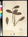 Semecarpus paucinervius (S obtusata, IT) US95874 (8046011415).jpg