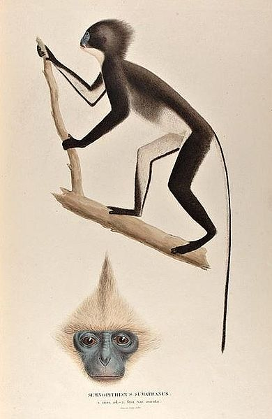 Archivo:Semnopithecus sumatranus.jpg
