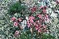 Sempervivum montanum L. (4555267384).jpg