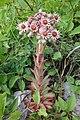 Sempervivum tectorum, familija Crassulaceae 01.jpg
