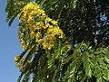 Senna spectabilis, the Spectacular Cassia. (9334070215).jpg