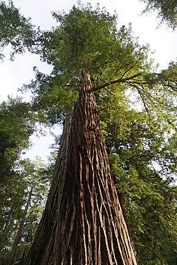 Sequoia sempervirens Big Basin Redwoods State Park 7