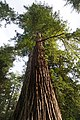 Sequoia sempervirens Big Basin Redwoods State Park 7.jpg