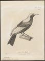 Sericulus melinus - 1700-1880 - Print - Iconographia Zoologica - Special Collections University of Amsterdam - UBA01 IZ16400213.tif
