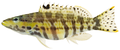 Serranus tigrinus - pone.0010676.g062.png