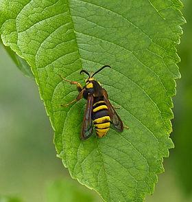 Sesia apiformis on leaf.jpg