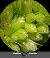 Setaria italica subsp. italica sl39.jpg