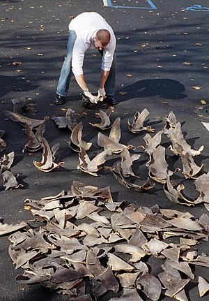 NOAA agent counting confiscated shark fins.