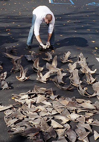 Shark finning - NOAA agent counting confiscated shark fins