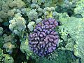 Sharm El Sheikh coral pink.jpg