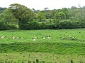 Sheep by the Exeter Canal at Countess Weir - geograph.org.uk - 1286650.jpg