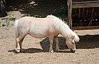 Shetland pony - Sofia zoo.jpg