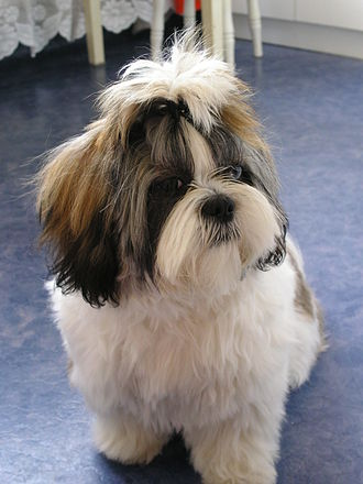Shih Tzu - A female Shih Tzu at around 18 months of age.