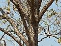 Shimalo (Gujarati- શીમળો) (3272409614).jpg