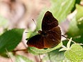 Siam Black Prince (26687693928).jpg