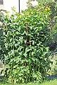 Silphium perfoliatum Prague 2013 2.jpg