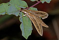 Silver-striped Hawkmoth (Hippotion celerio) (11569080433).jpg