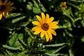 Single False Sunflower PLT-FL-DS-8.jpg