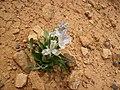 Single Iris aucheri plant in Syria.jpg