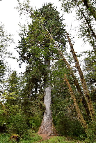 Picea sitchensis - Sitka spruce in the Hoh Rainforest in Olympic National Park