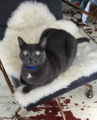 Sitting Korat cat.png