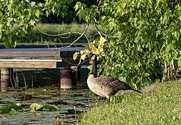 Slate Run - Canada Geese 1.jpg