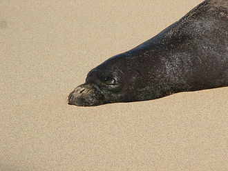 Hawaiian monk seal - A Hawaiian monk seal observed in Kauai