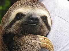 Sloth in the Amazon - Flickr - Praziquantel.jpg
