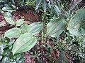 Smilax wightii-1-chemmunji-kerala-India.jpg