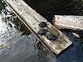 Snappsköldpadda.jpg
