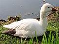 Snow goose 3.jpg