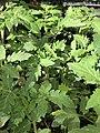 Solanum lycopersicum 2 2018-07-02.jpg