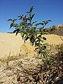 Solanum nigrum subsp. schultesii sl9.jpg