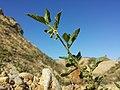 Solanum nitidibaccatum sl54.jpg