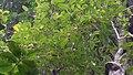 Solanum rupincola Sendtn. (8441443316).jpg