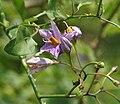 Solanum wendlandii (Costa Rica Nightshade) W2 IMG 6700.jpg